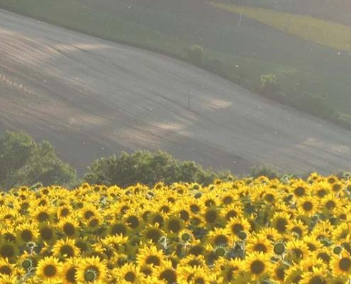 colline marchigiane con girasoli -Corsi di chitarra finngerstyle con Franco Morone nelle Marche